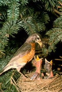 American Robin family