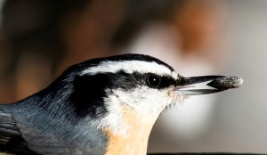 12-02 Red-breasted Nuthatch by Pete Arnold